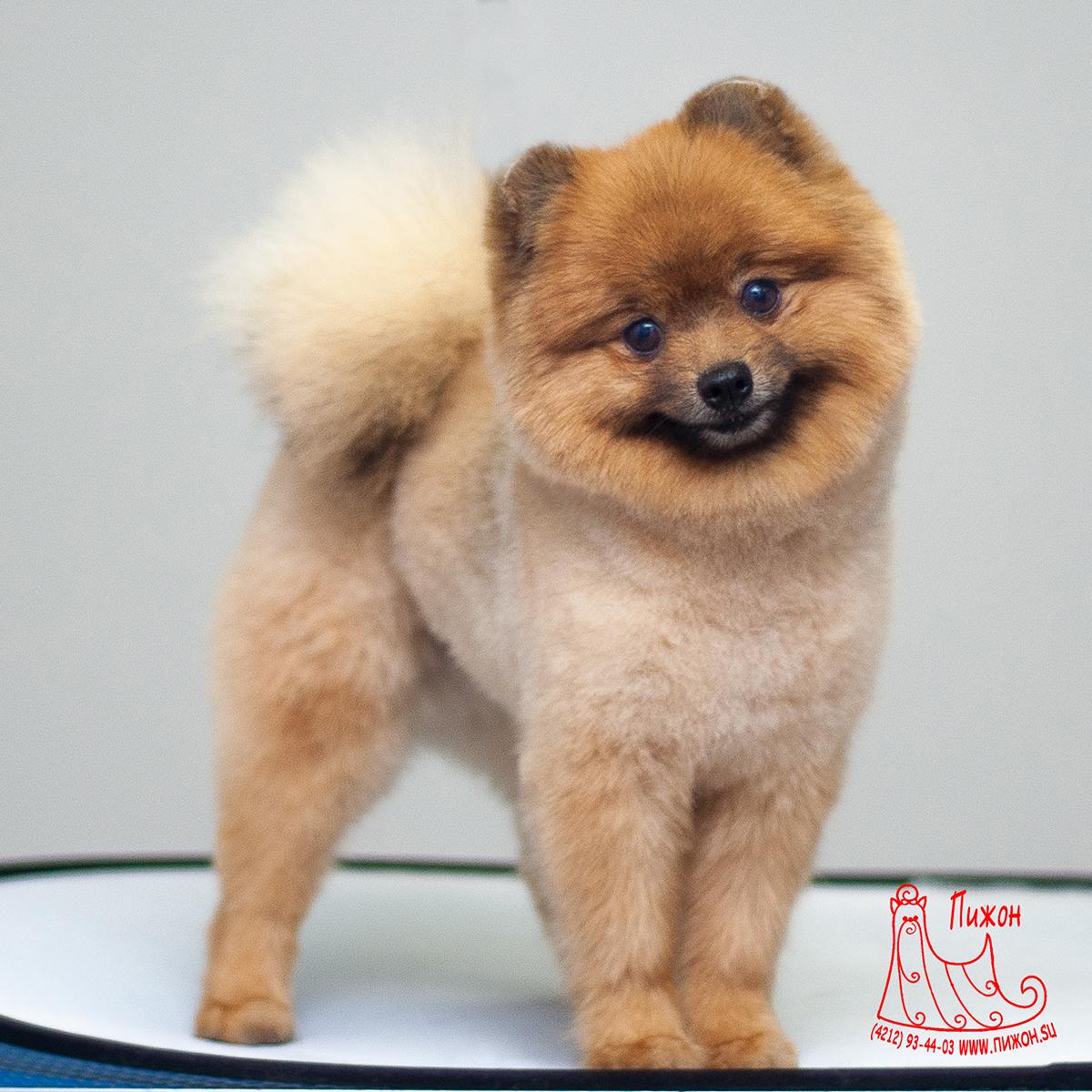 Как подстричь шпица щенка в домашних условиях