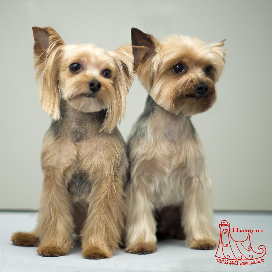 Комплексный груминг для йорков на дому или в салоне — целый набор процедур по уходу за животным.